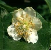 Цветок киви сорта Матуа